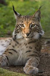 Picture of a Lynx, Noatak's mascot